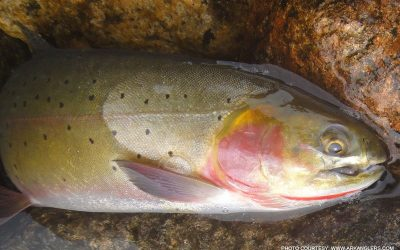 cut-throat-trout-arkansas-river-colorado