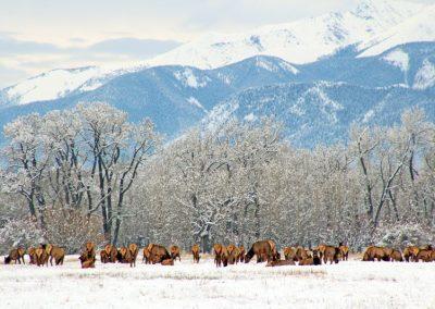 elk-herd-antero-img_2747_2