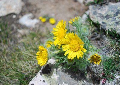 flowers-mount-princeton-hike